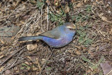 Tit-warbler