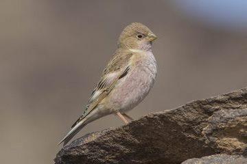 Mongolian Trupeter Finch